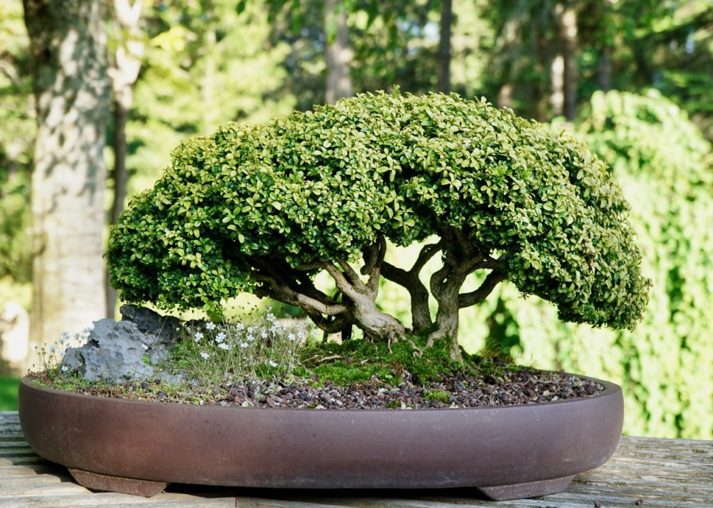 Bonsai At Hcp Vancouver Island Bonsai Society